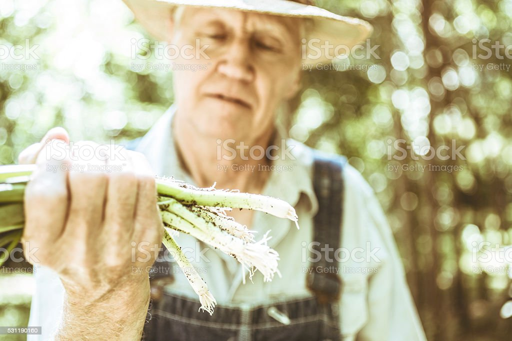 Senior adult, male farmer picks scallions on farm. Organic vegetables. stock photo