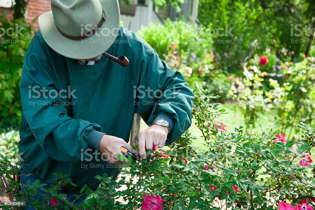 Senior adult man tends to his red roses in his backyard home garden....