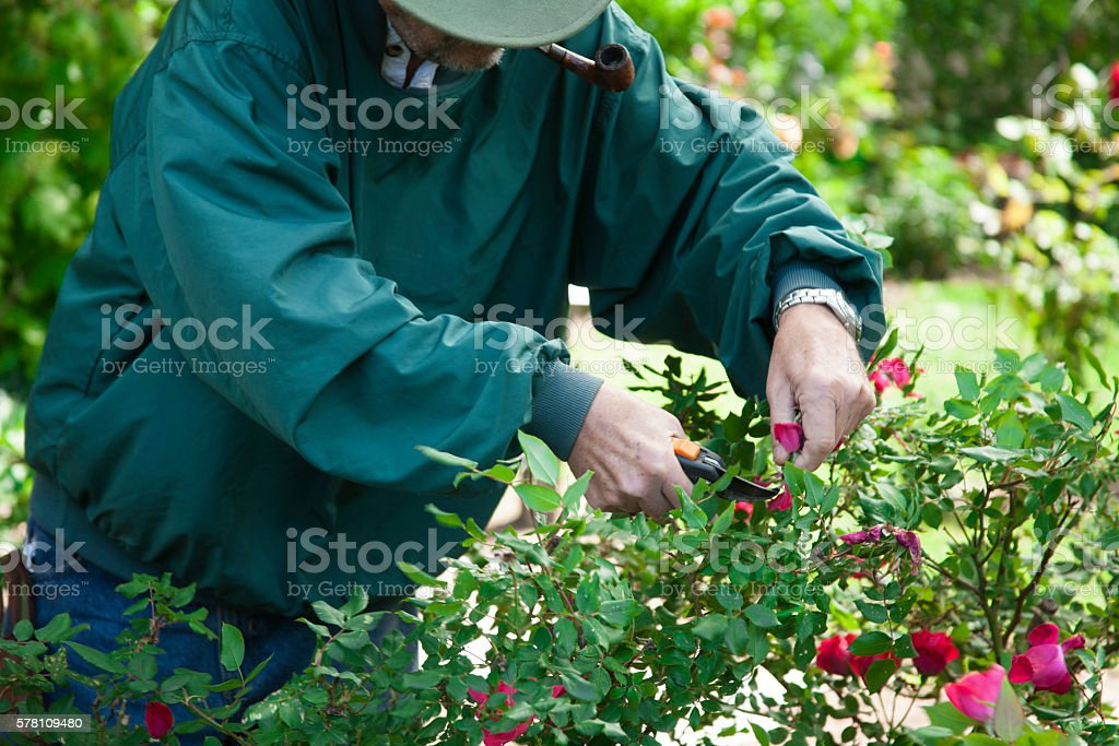 Senior adult man gardening.  Trimming rose bushes. stock photo