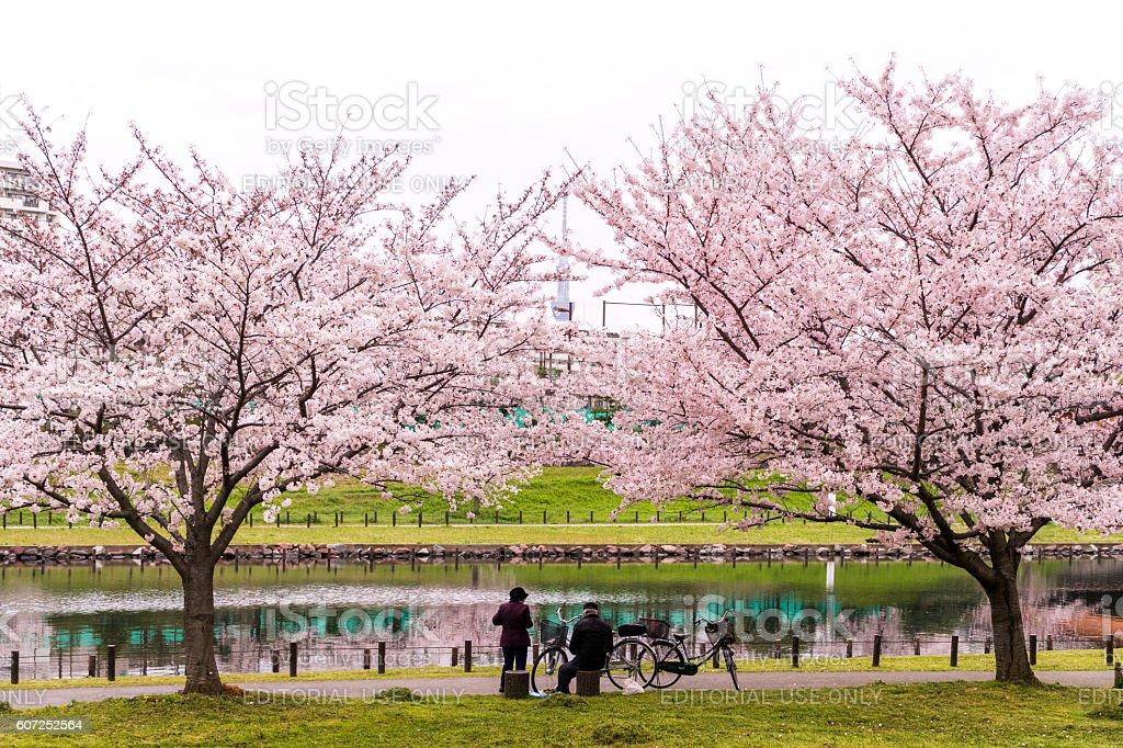 Senior Asian couple resting together under sakura tree in Japan stock photo