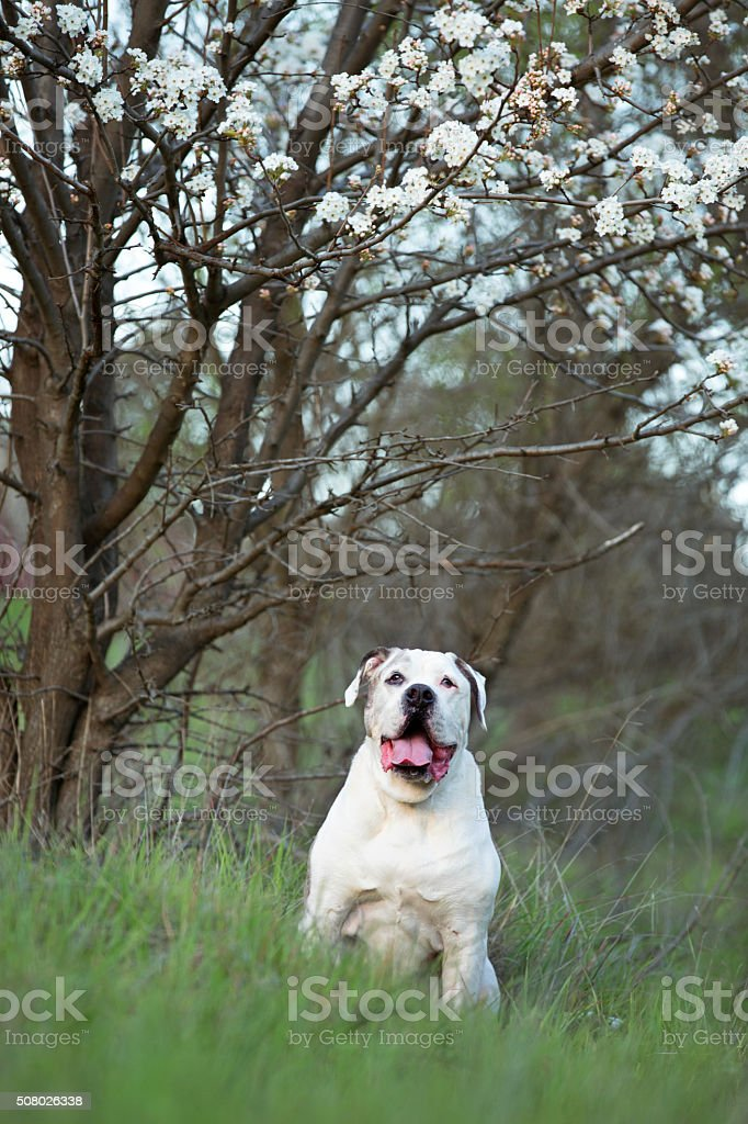 Senior Brown and White Bulldog Sitting Under Blooming Apple Tree stock photo