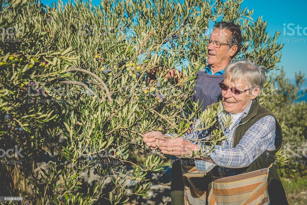 Senior Caucasian Couple  Harvesting Olives in Brac, Croatia, Europe stock photo