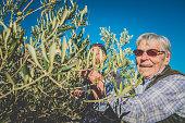 Senior Caucasian Couple  Harvesting Olives in Brac, Croatia, Europe