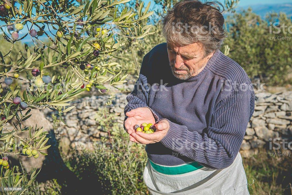 Senior Caucasian Man with Handful of Olives, Brac, Croatia, Europe stock photo