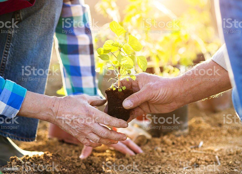 Senior couple planting seedlings stock photo
