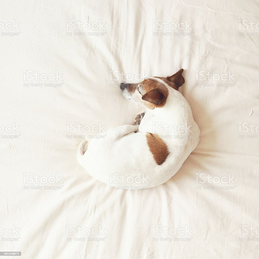 Senior dog curled up on bed sleeping stock photo