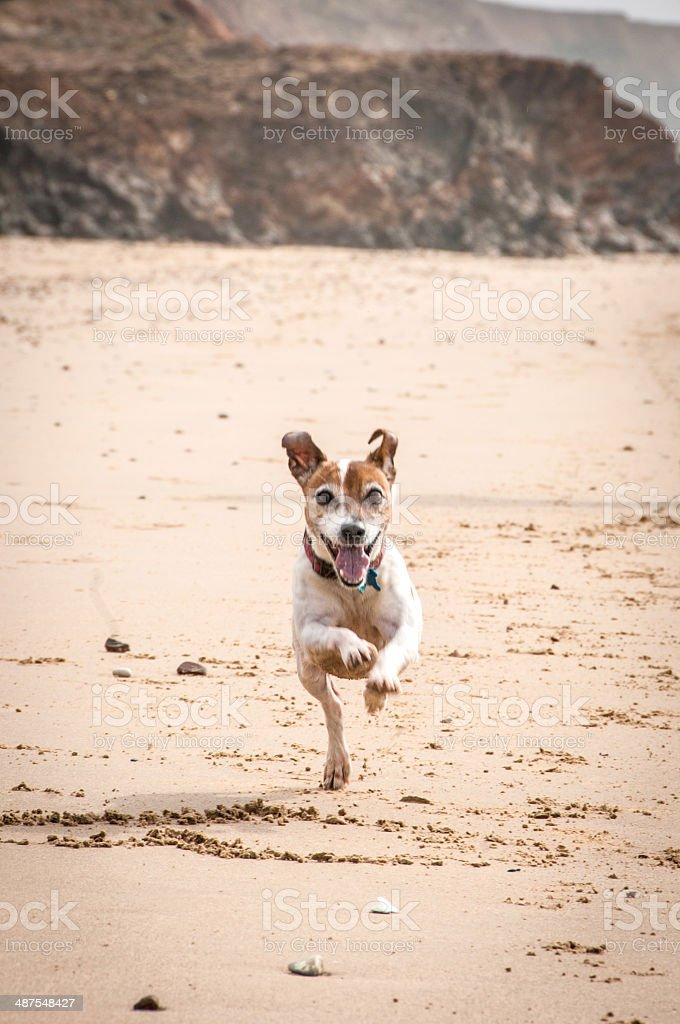 Senior dog running on the beach stock photo