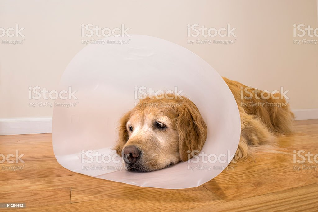 Senior dog wearing e-collar after surgery at home stock photo