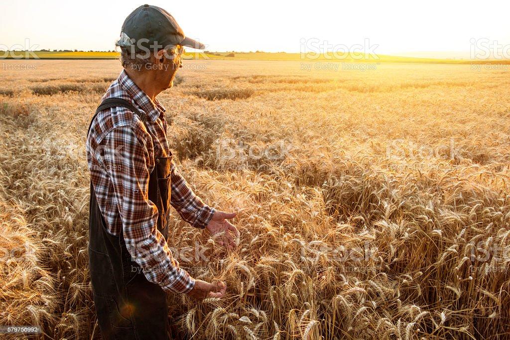 Senior farm worker examining wheat crops field stock photo