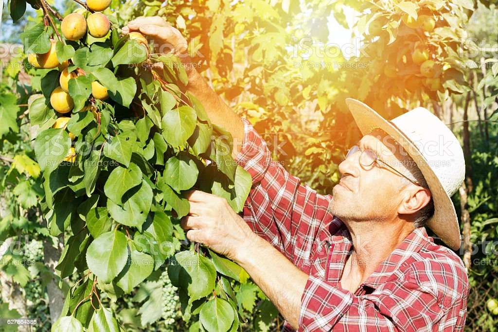 senior farmer checking the apricot in his orchard stock photo