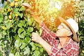 senior farmer checking the apricot in his orchard