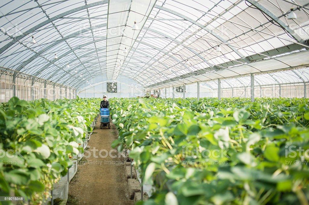 Senior farmer harvesting the strawberry stock photo