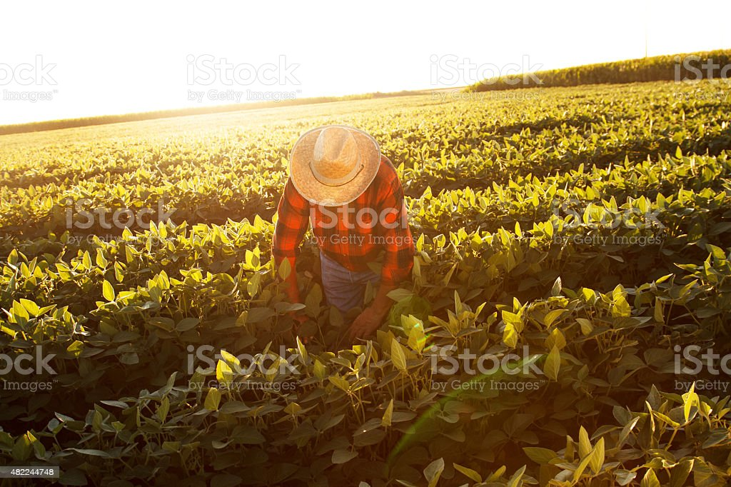 Senior farmer in a field examining crop stock photo