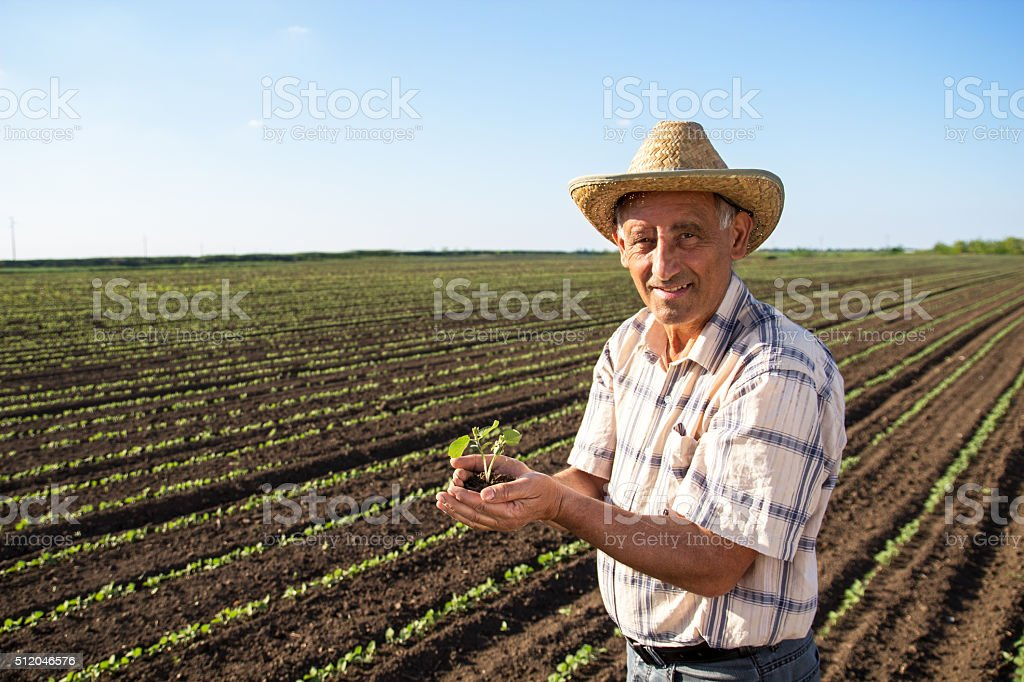 Senior farmer in a field holding crop in nis hands stock photo