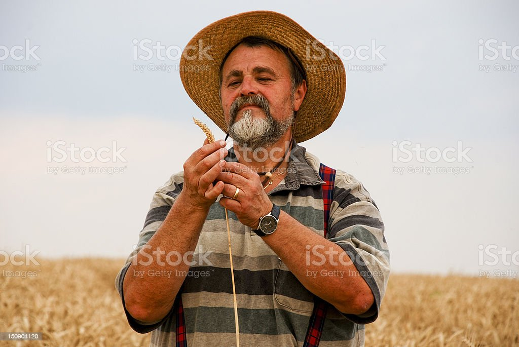 Senior farmer looking wheat in field royalty-free stock photo