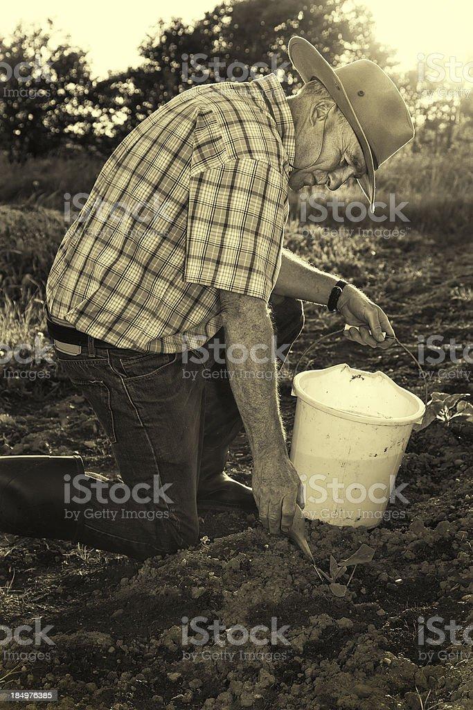 Senior Farmer watering seedlings royalty-free stock photo