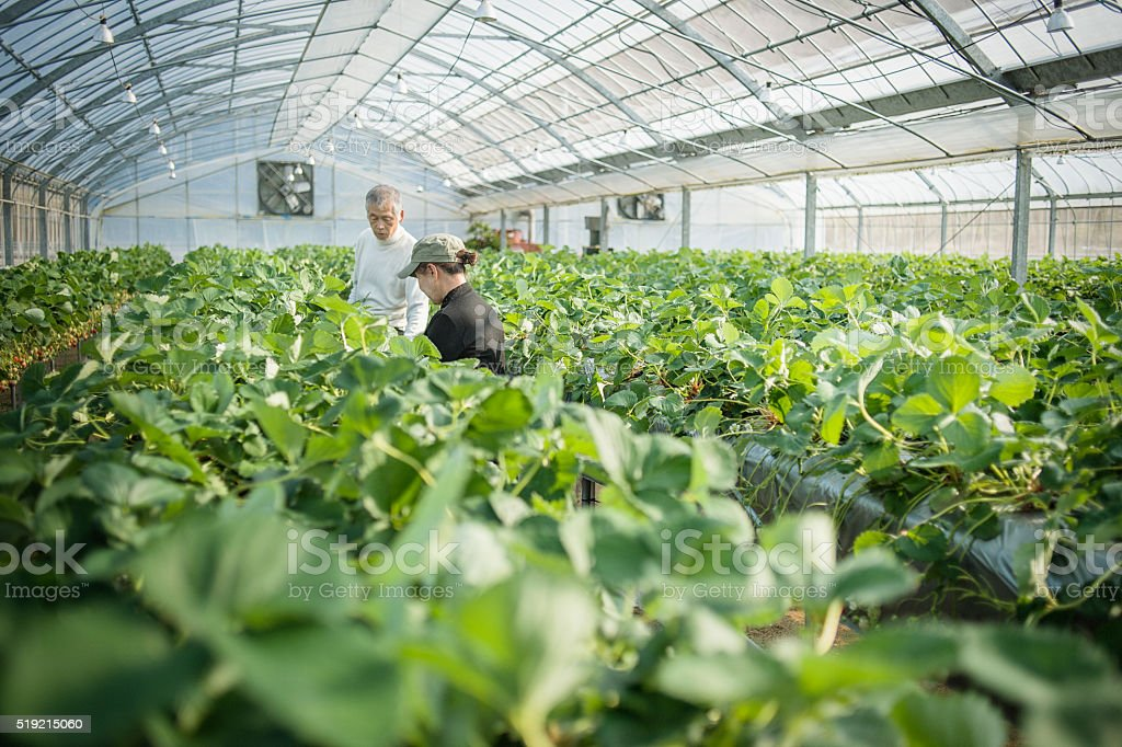 Senior farmers working in a greenhouse stock photo