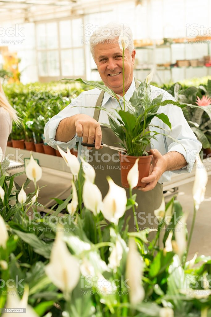Senior florist working in greenhouse royalty-free stock photo