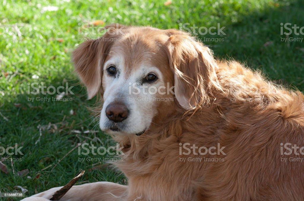 Senior Golden Retriever stock photo