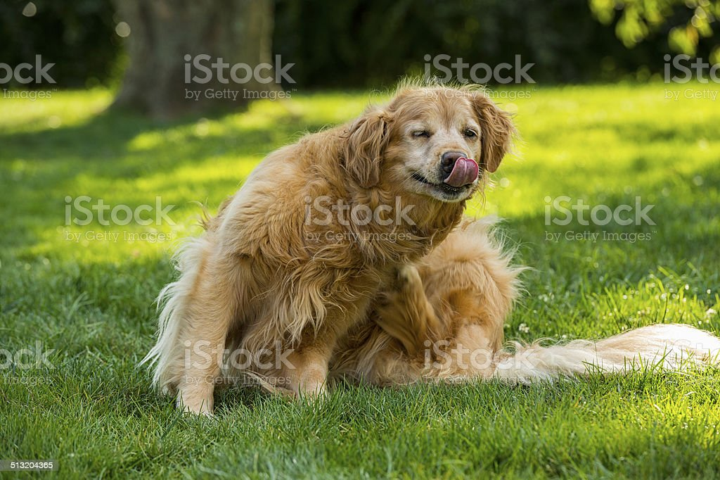 Senior Golden Retriever Scratching stock photo