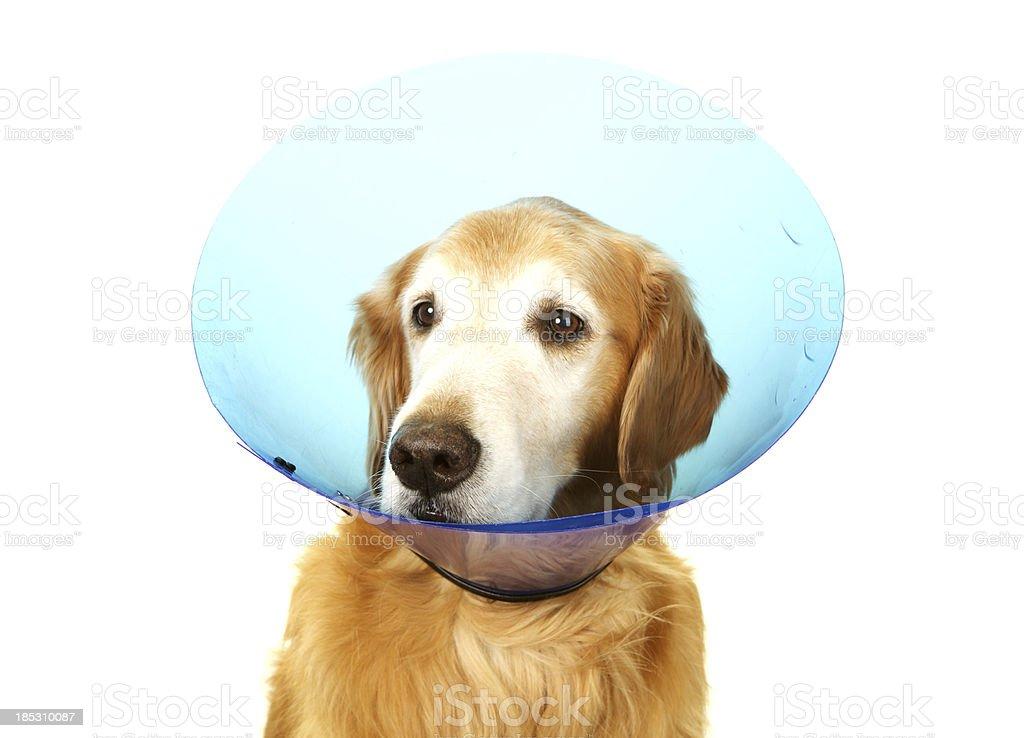 Senior Golden Retriever with a Recovery Collar royalty-free stock photo