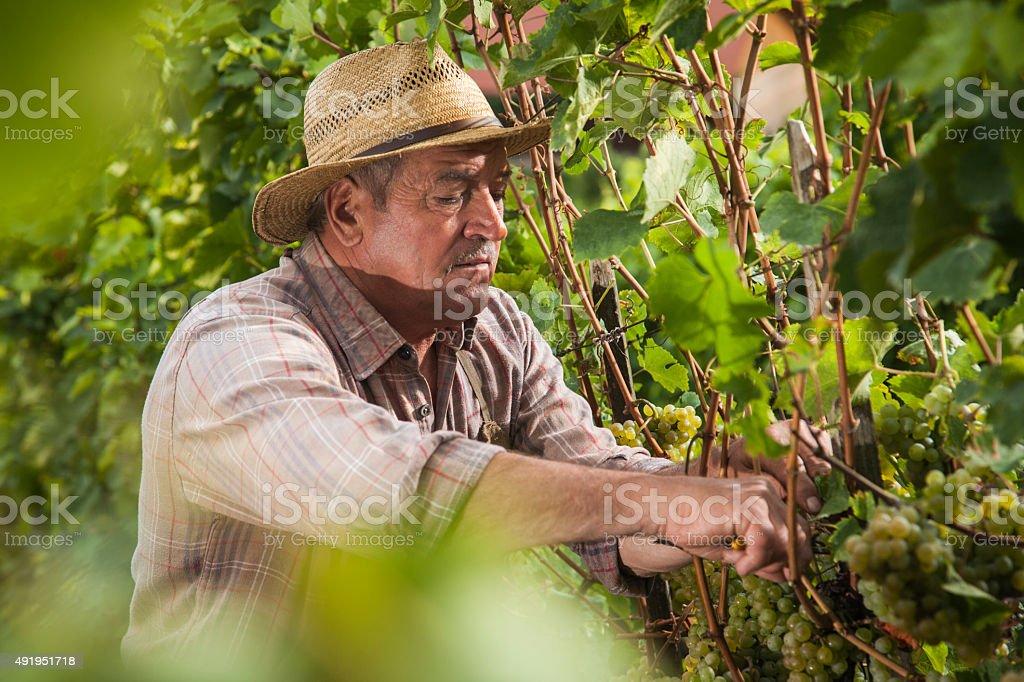 Senior Harvesting Grapes in the Vineyard stock photo