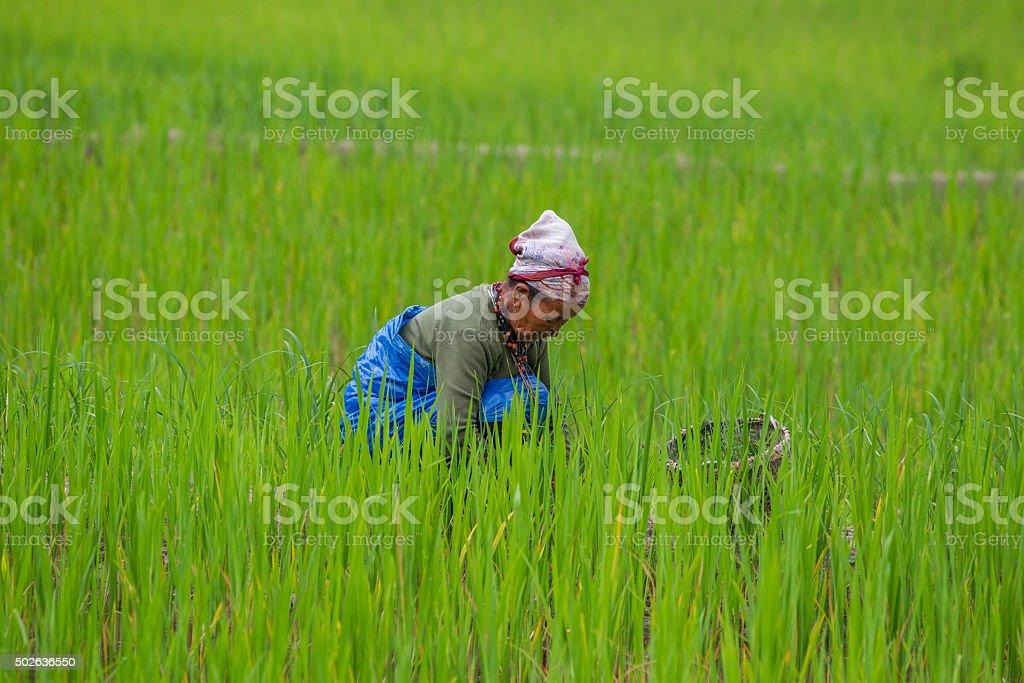 Senior Indian women working on paddy field stock photo