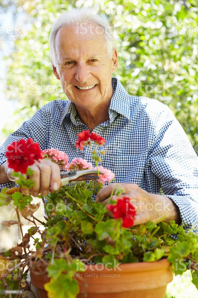 Senior man cutting geraniums from flower pot royalty-free stock photo