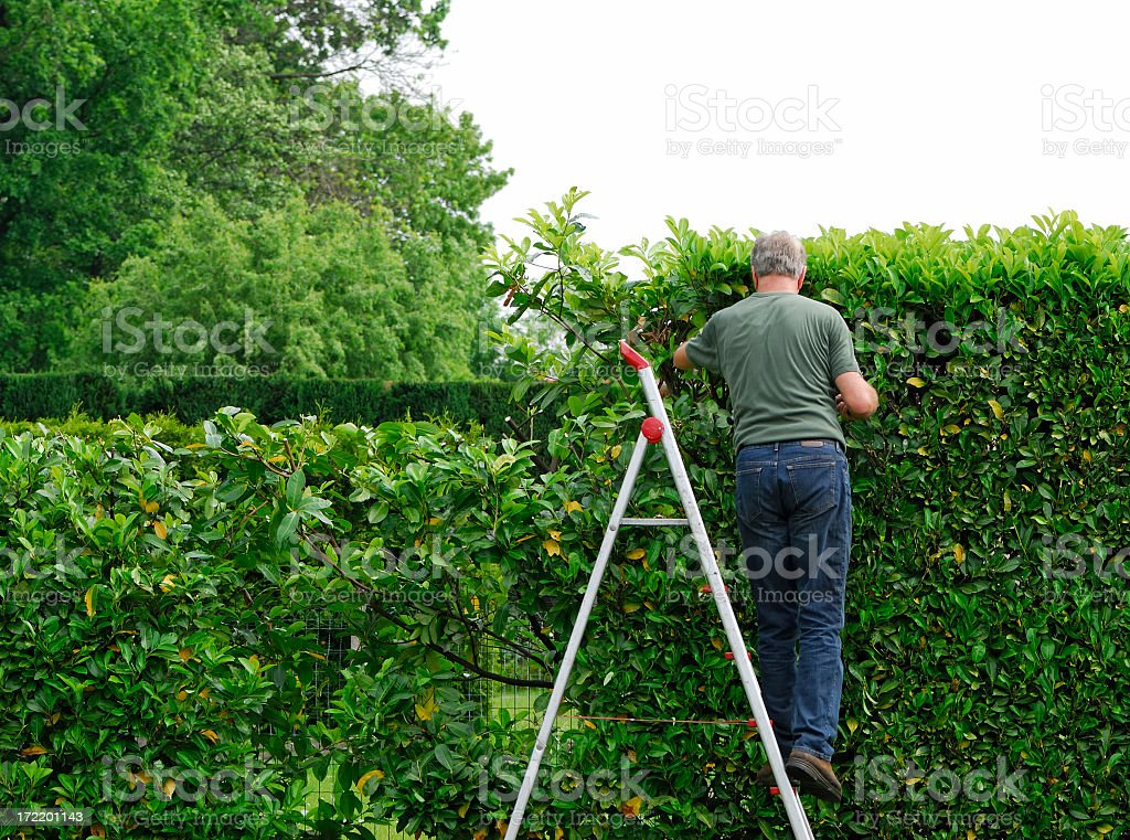 Senior man cutting  laurel hedge in springtime stock photo