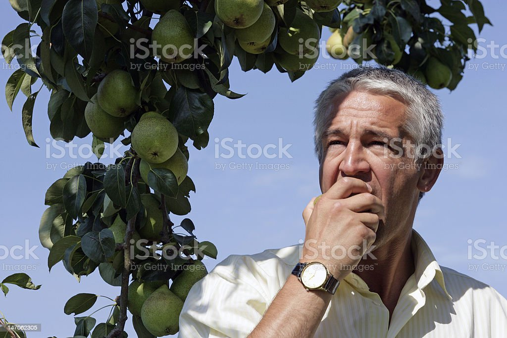 Senior man eating pears in orchard royalty-free stock photo