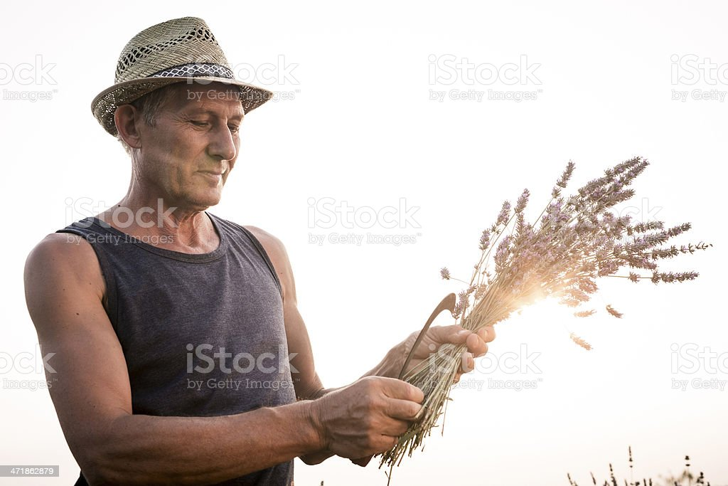 Senior man harvesting blooming flowers of Lavender royalty-free stock photo