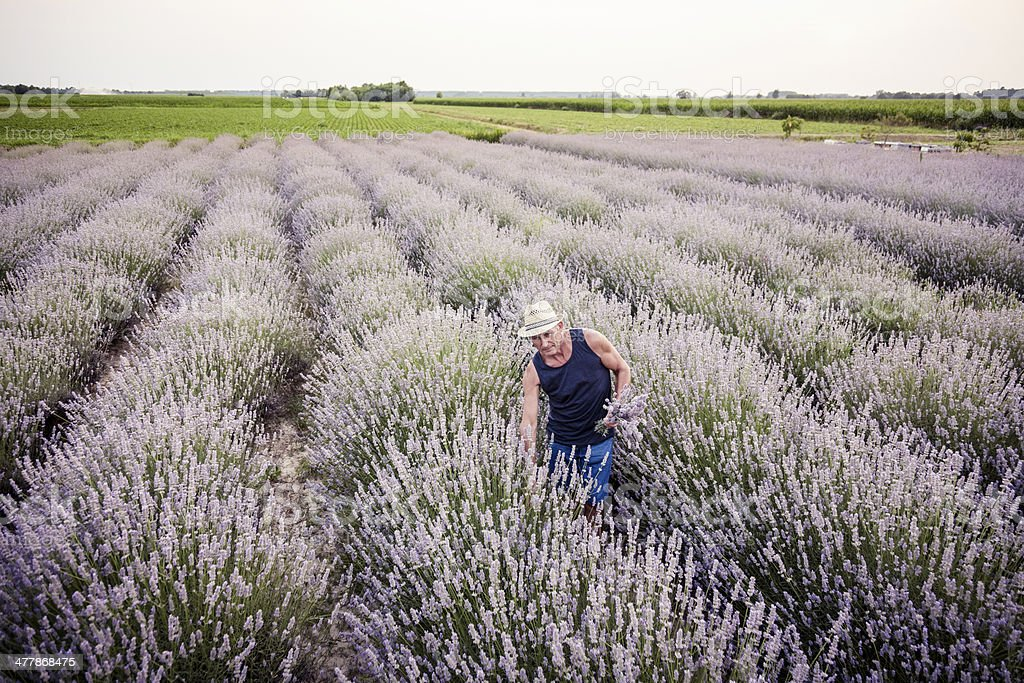 Senior man harvesting blooming flowers of Lavender royalty-free stock photo