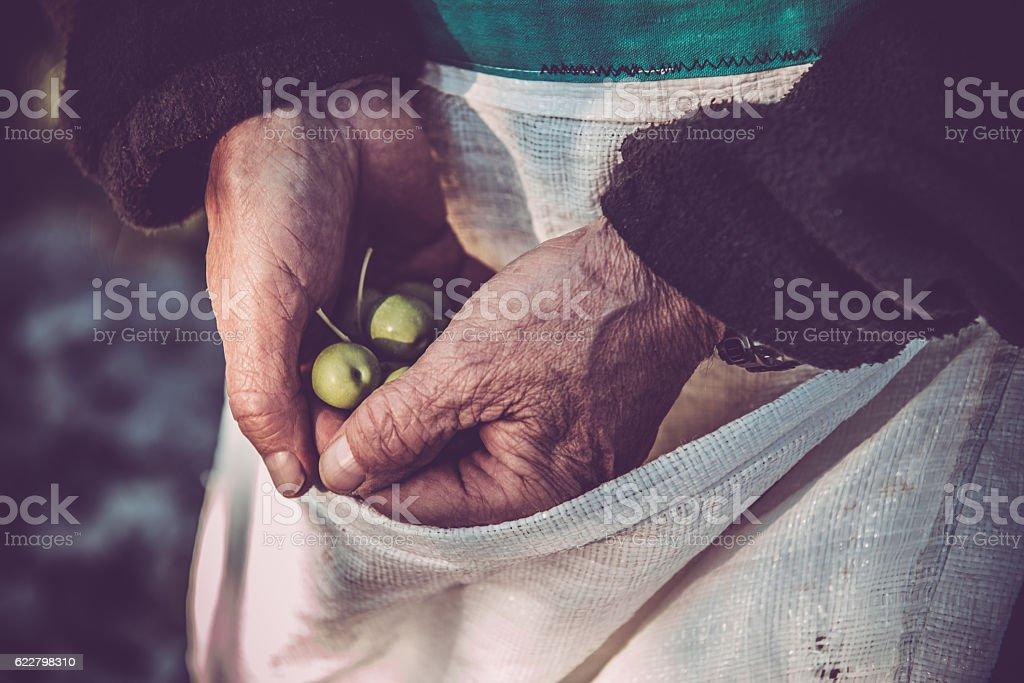 Senior Man Harvesting Olives in Brac, Croatia, Europe stock photo