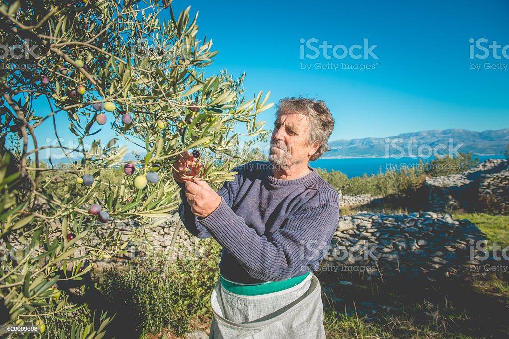 Senior Man Harvesting Olives in Brac, Dalmatia, Croatia, Europe stock photo