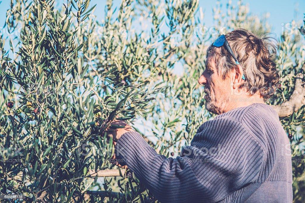 Senior Man Harvesting Olives on Brac Island, Croatia, Europe stock photo