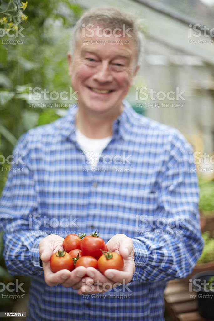Senior Man In Greenhouse With Home Grown Tomatoes royalty-free stock photo