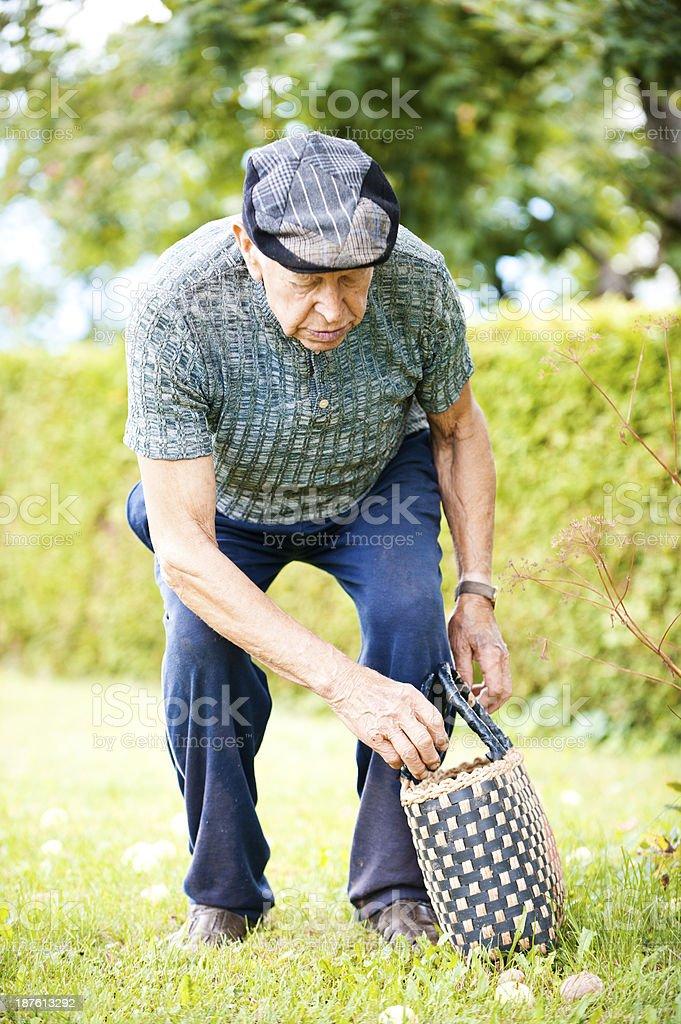 Senior man picking apples royalty-free stock photo