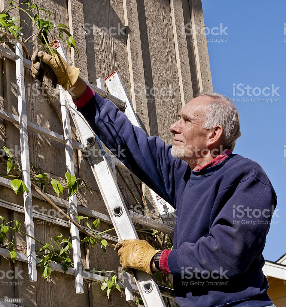 Senior man pruning a vine royalty-free stock photo