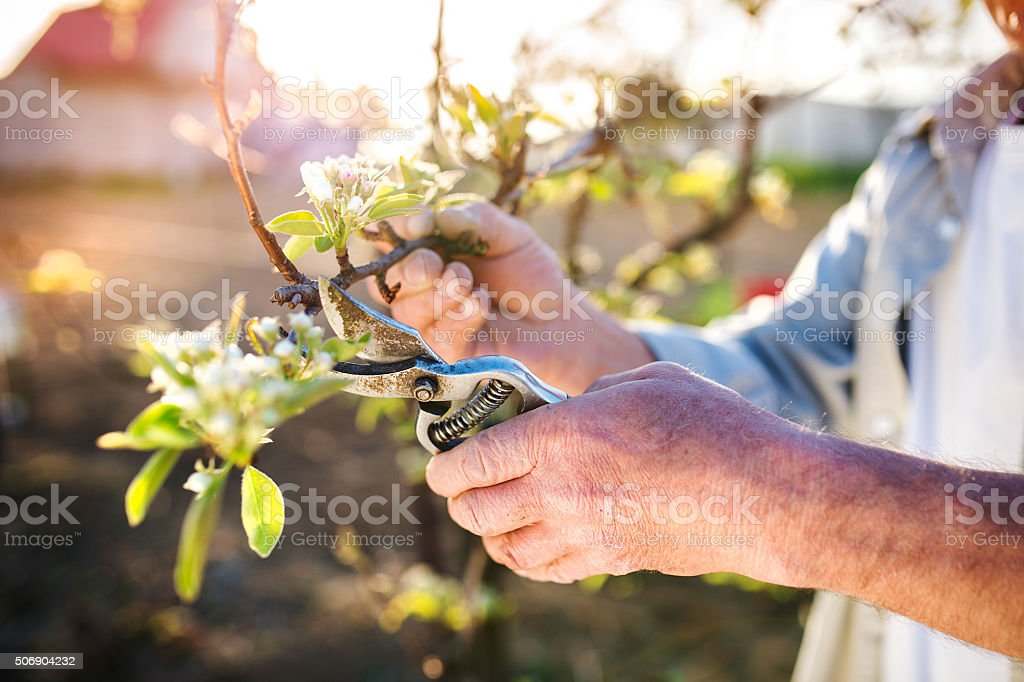 Senior man pruning apple tree stock photo