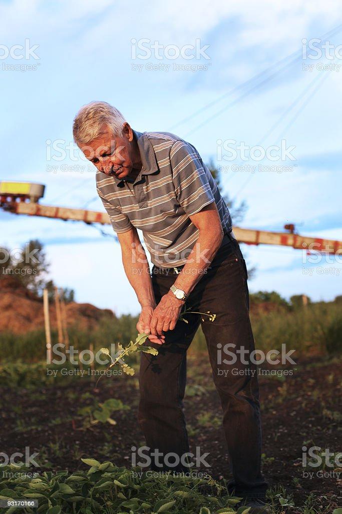 Senior man pulls weed out stock photo