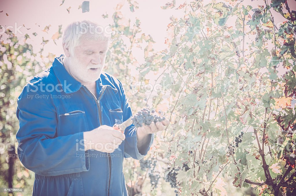 Senior Man with White Beard Picking Red Grapes stock photo