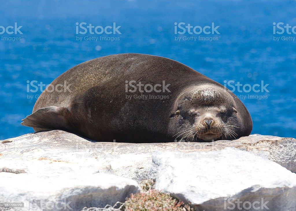 Senior Sea Lion stock photo