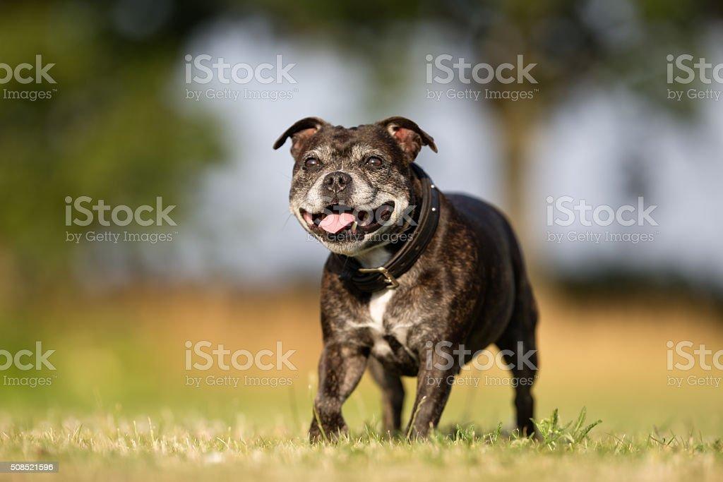 Senior Staffordshire Bull Terrier stock photo