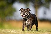 Senior Staffordshire Bull Terrier