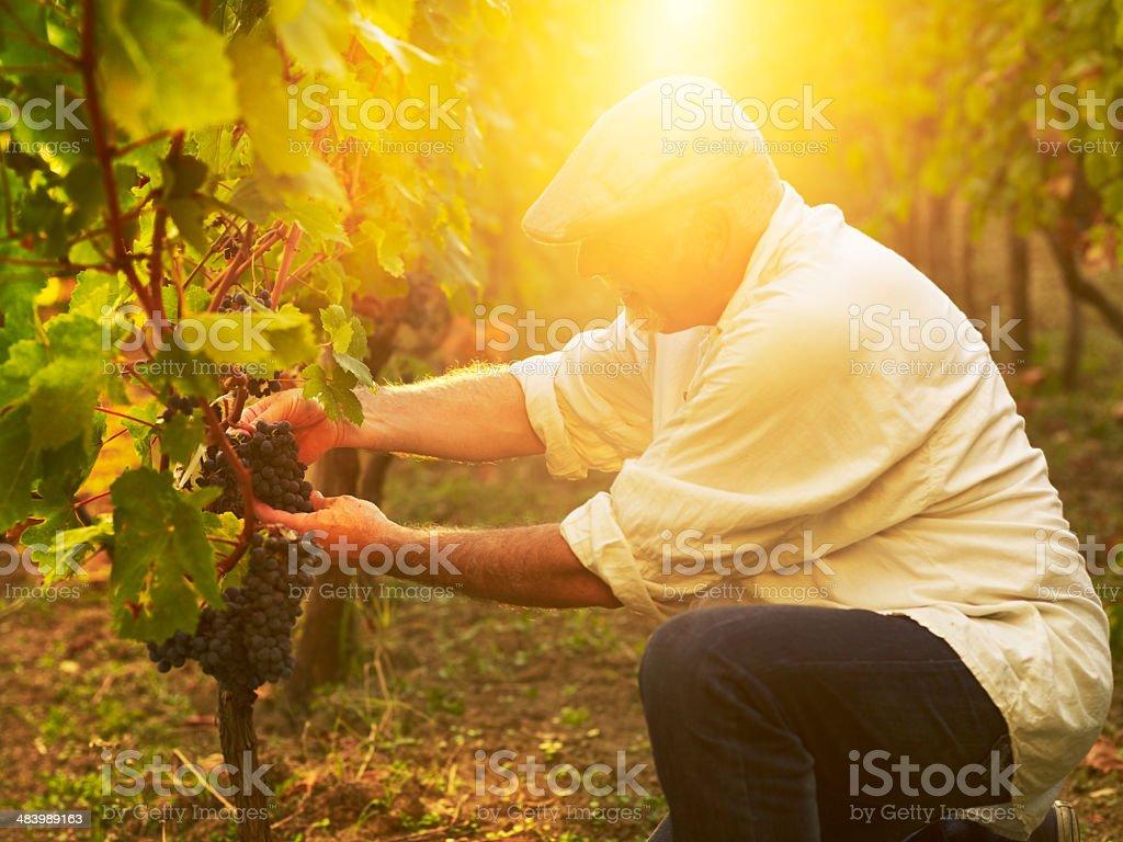 senior vinemaker royalty-free stock photo