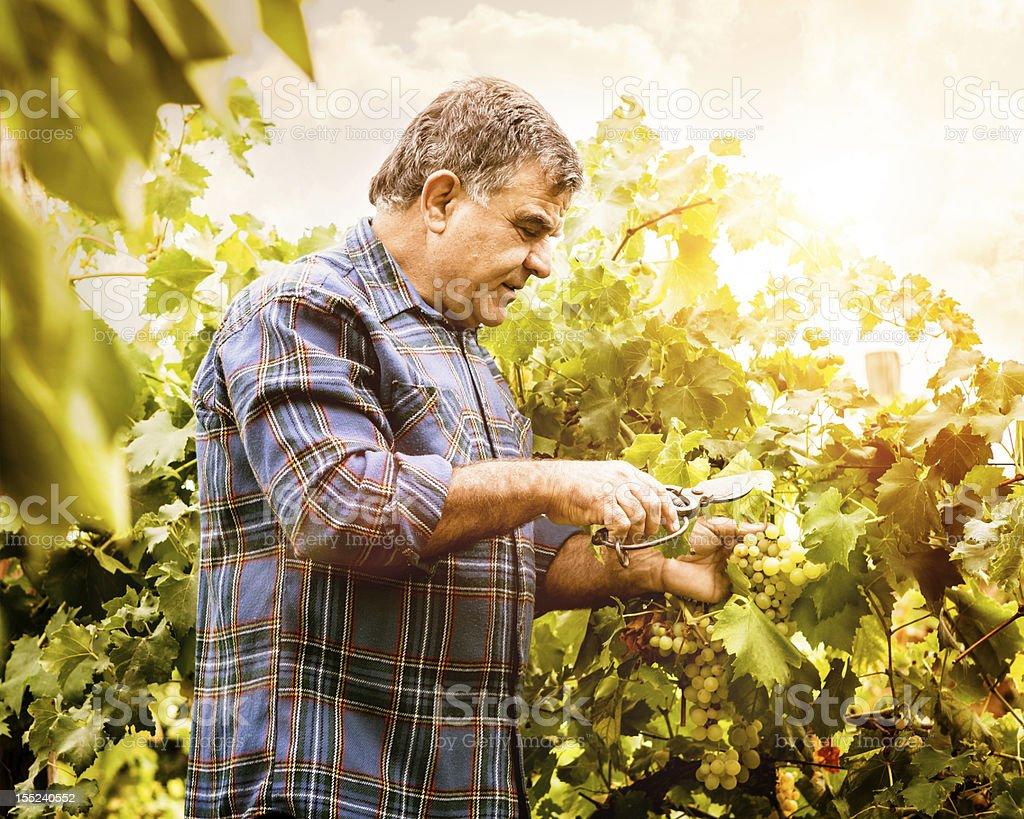 Senior Vintner Grapes Harvesting stock photo