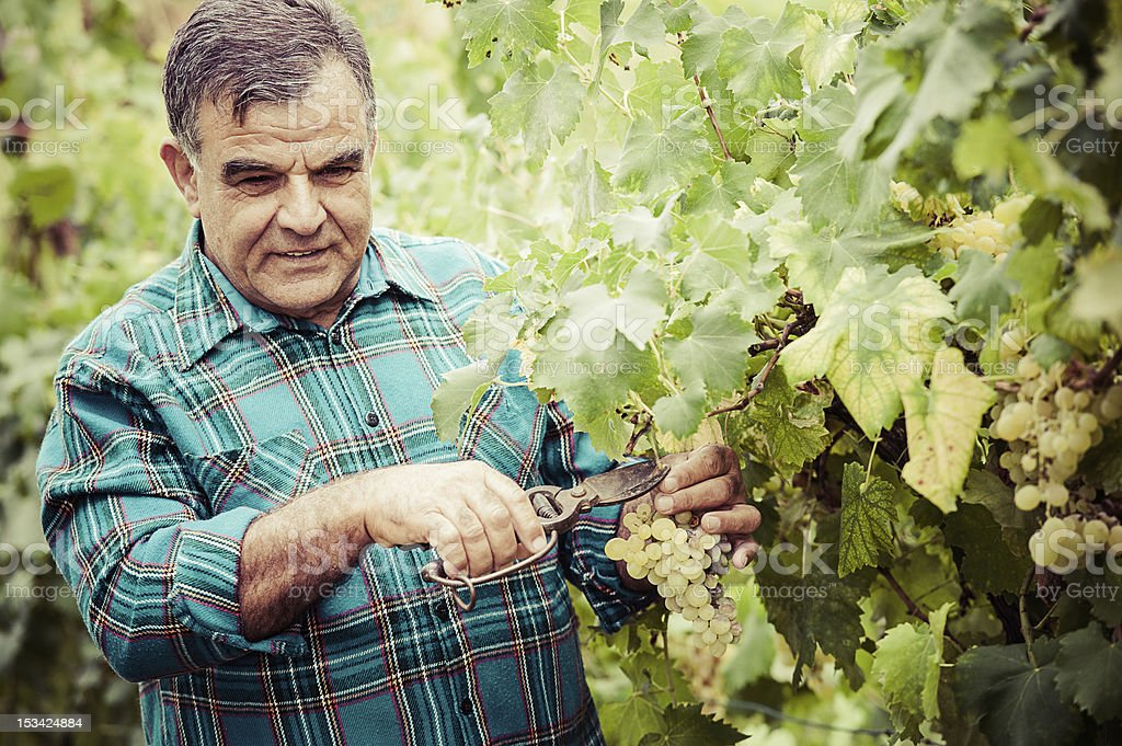 Senior winemaker cuts twigs royalty-free stock photo