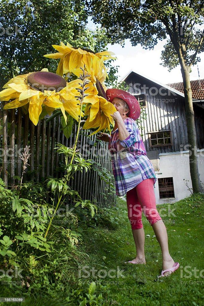 senior woman grow huge sunflowers royalty-free stock photo
