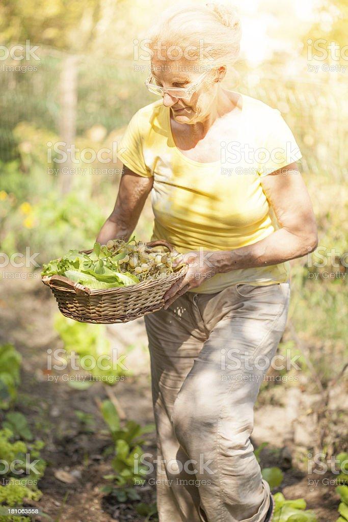 Senior Woman Harvesting Vegetables stock photo