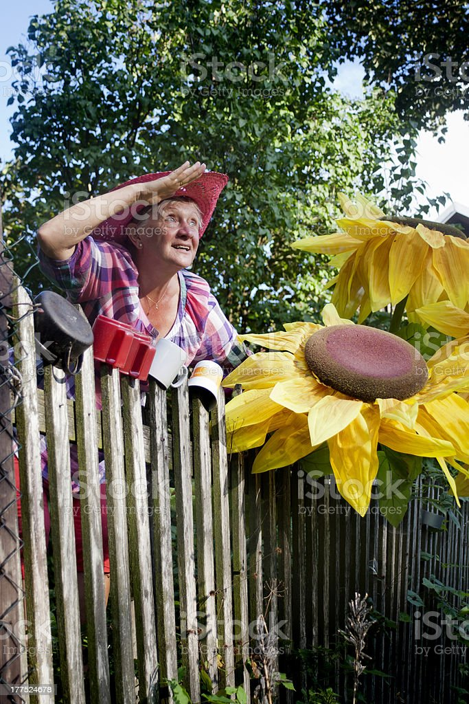 senior woman look check garden huge sunflowers stock photo